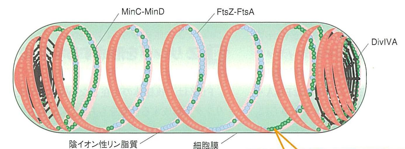 原核細胞分裂面の決定機構 Min蛋...