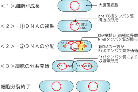 原核生物の細胞分裂 - 生物史か...