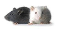 ノックアウトマウス