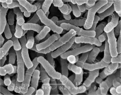 乳酸菌(顕微鏡)