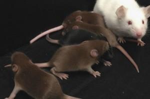 mice-e1454562040631