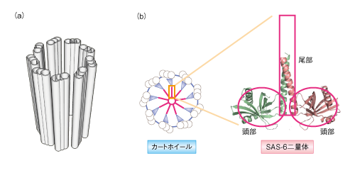微小管の2量体構造