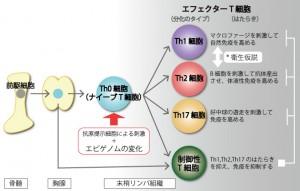 T細胞の分化とはたらき